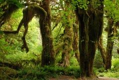 在青苔的霍尔的树 图库摄影