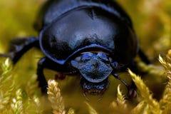 在青苔的Dor甲虫 免版税库存照片