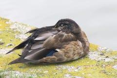 在青苔盖的石头的一只黑褐色鸭子在水旁边 免版税图库摄影