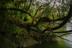 在青苔盖的美丽的树垂悬在水 免版税库存图片