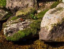 在青苔群和岩石的美丽的红色/橙色蝴蝶 免版税库存照片