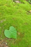 在青苔背景的绿色重点叶子 免版税库存照片