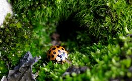 在青苔洞的小瓢虫 免版税图库摄影