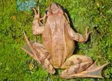 在青苔10的青蛙 图库摄影