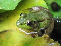 在青蛙池塘 库存图片