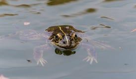 在青蛙的皮肤的颜色 免版税库存照片