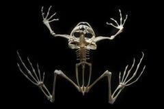 在青蛙的骨骼 免版税图库摄影