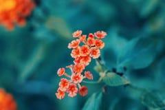 在青绿的模糊的背景的美丽的神仙的梦想的不可思议的红色橙黄花马樱丹属camara 免版税图库摄影