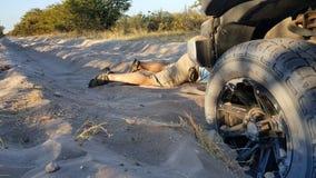 在非常在chobe的软的沙子困住的汽车 库存照片