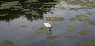 在非常坎塔布里亚秀丽的白色天鹅 库存照片