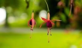 在非常美好的被弄脏的背景的两朵开花的紫红色的花 免版税库存照片