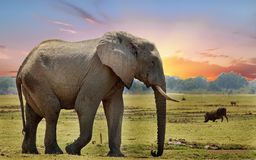 在非洲人平原的非洲大象有日落天空背景 库存照片
