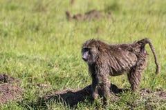 在非洲大草原的狒狒 库存图片