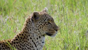 在非洲大草原的豹子特写镜头与高寻找牺牲者的草转动的头 股票视频