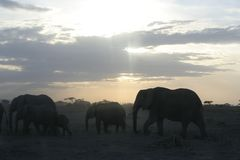 在非洲大草原的非洲大象非洲象属Africana、Ndovu或者Tembo和非洲日落 免版税图库摄影