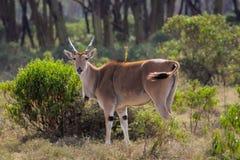 在非洲大草原自然的共同的eland非洲羚羊类羚羊属 库存图片