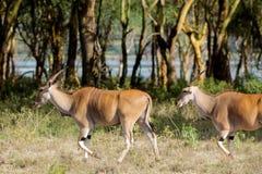 在非洲大草原自然的共同的eland非洲羚羊类羚羊属 免版税库存图片