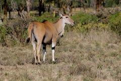 在非洲大草原自然的共同的eland非洲羚羊类羚羊属 免版税图库摄影