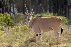 在非洲大草原自然的非洲羚羊类羚羊属 图库摄影