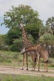 在非洲徒步旅行队的长颈鹿 免版税库存照片
