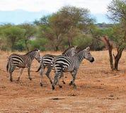 在非洲徒步旅行队Tarangiri-Ngorongoro的斑马 库存照片