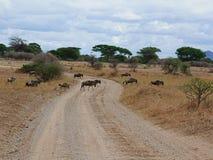 在非洲徒步旅行队Tarangiri-Ngorongoro的羚羊牛羚 库存照片