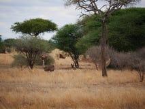 在非洲徒步旅行队Tarangiri-Ngorongoro的驼鸟 库存照片