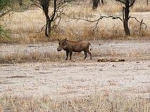 在非洲徒步旅行队Tarangiri-Ngorongoro的Warthog 库存照片