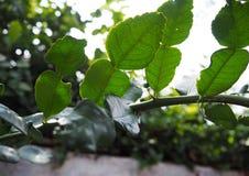 在非洲黑人石灰(柑橘hystrix)的精油封垫离开 免版税库存照片