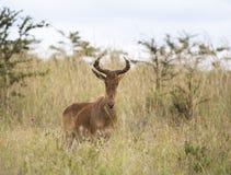 在非洲大草原的利希滕斯泰因的Hartebeest 免版税库存照片