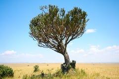 在非洲大草原的大烛台树 免版税库存图片