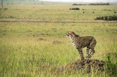 在非洲大草原的猎豹 免版税库存照片