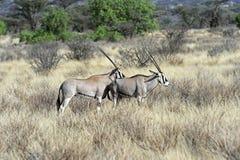 在非洲大草原的Oreks羚羊属 免版税库存图片