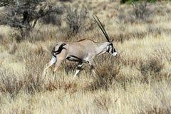 在非洲大草原的Oreks羚羊属 库存照片