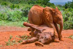 在非洲大象小牛之间的权力争夺 免版税图库摄影