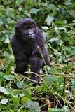 在非洲密林秀丽的东部大猩猩  库存图片