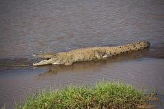 在非洲徒步旅行队的鳄鱼在肯尼亚 库存照片