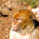 在非洲摩洛哥和自然本底动物区系关闭的老猴子 库存照片
