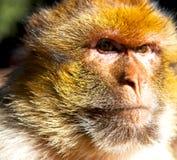 在非洲摩洛哥和自然本底动物区系关闭的老猴子 免版税图库摄影