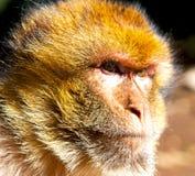 在非洲摩洛哥和自然本底动物区系关闭的老猴子 库存图片