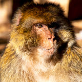 在非洲摩洛哥和自然本底动物区系关闭的老猴子 免版税库存图片