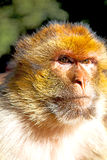 在非洲摩洛哥背景动物区系关闭的老猴子 免版税库存图片
