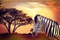 在非洲日落的斑马画象有金合欢背景 非洲徒步旅行队野生生物概念 免版税库存图片