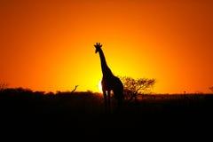 在非洲日落的长颈鹿 库存图片