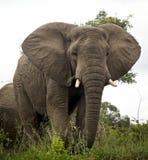 在非洲灌木的大象 免版税库存图片