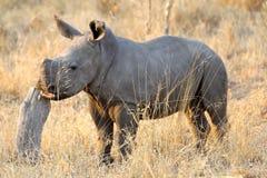 在非洲灌木的幼小白色犀牛 免版税库存照片