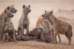 在非洲水牛城杀害的被察觉的鬣狗 库存图片