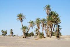 在非洲绿洲的枣椰子树 免版税库存照片