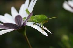 在非洲雏菊的草跳跃者 免版税库存照片
