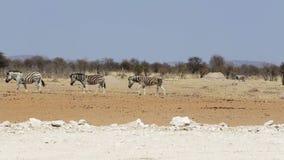 在非洲etosha灌木,纳米比亚的斑马 非洲野生生物 影视素材